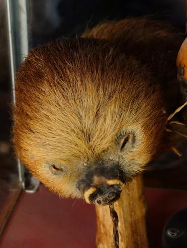A shrunken sloth head